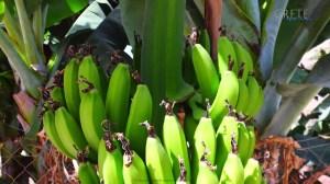 Banana00