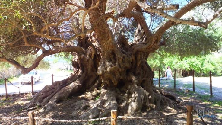 Olivenbaum01