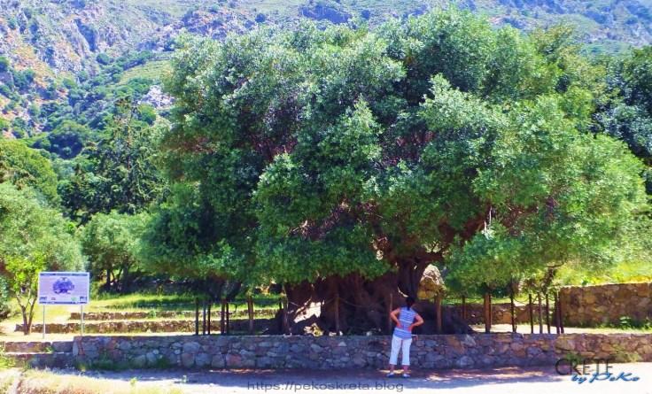 Olivenbaum02